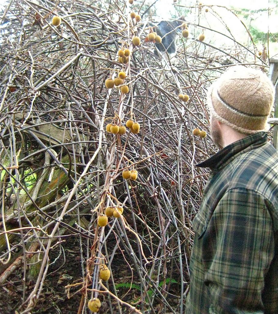 Erin and Syringa harvesting our Kiwi.