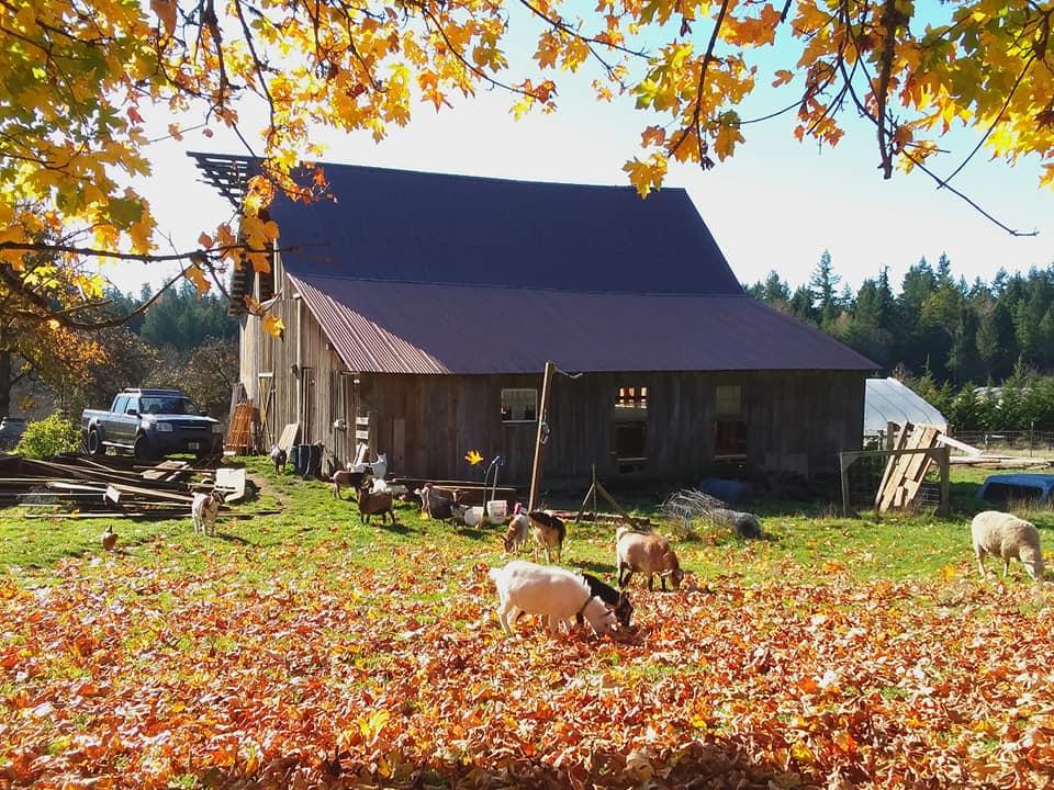 Seattle area Goat Yoga Puget Sound