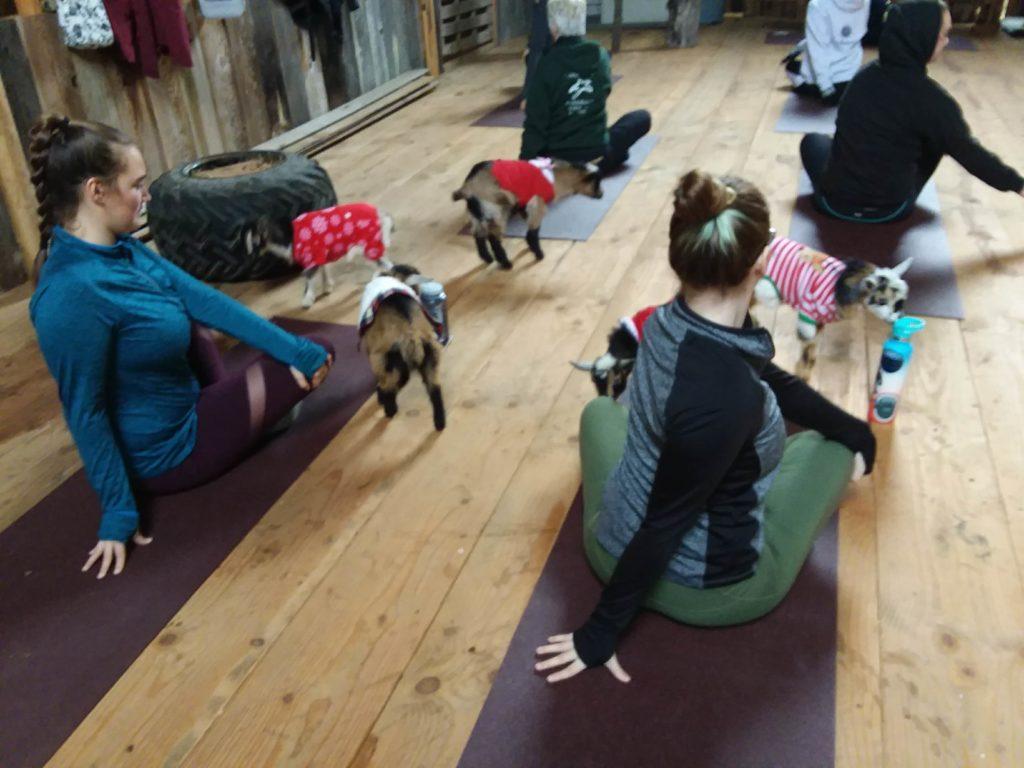 goat yoga session