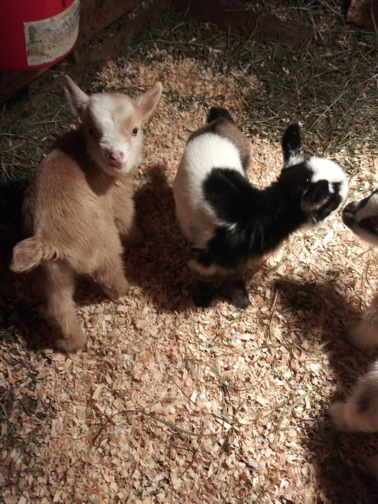 baby goat cuddles, cute, dwarf nigerian