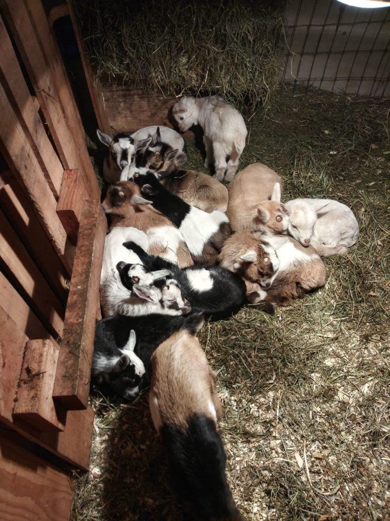 organic dwarf nigerian goats, organic goat kidds, organic goat, organic dairy goat