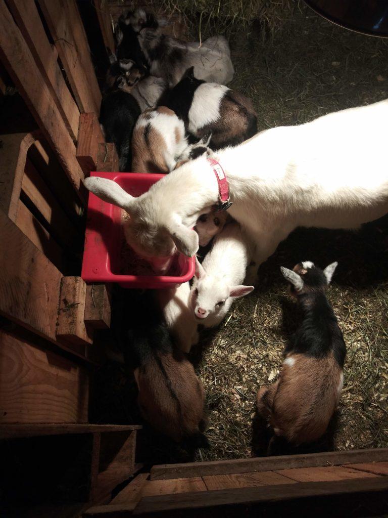 organic goat kidds, organic dwarf nigerian goats
