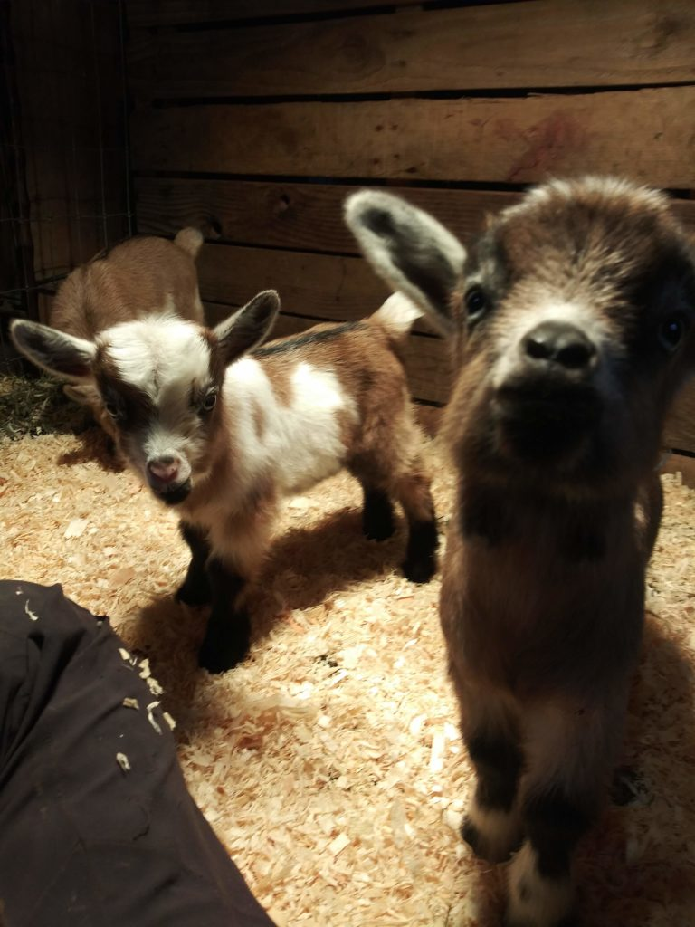 baby goats, play with goats, playtime, cute, laugh, exciting