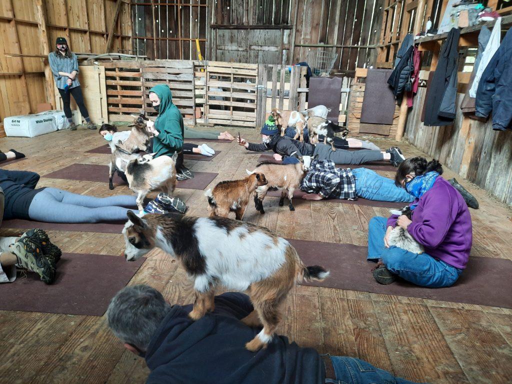 baby goats, goat yoga